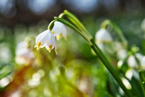 pavasaris,gėlė,saulės spindulys,gamta,augalas,žiedas,žydėti,sodas,žydėti