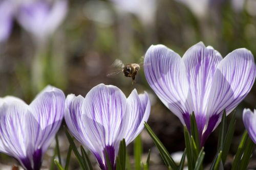 pavasaris,Crocus,schwertliliengewaechs,pavasario krokusas,gėlės,žiedas,žydėti,gėlė,flora,žydėti,gamta,violetinė,balta,bičių,pabarstyti,hum,lenz
