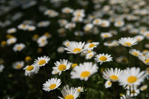 pavasaris,kogiku,gėlių laukai,neryškus,parkas,pavasario gėlės,Gegužė