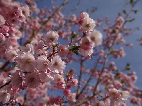 pavasaris,ornamentinis vyšnia,sodas,medis,vyšnių žiedas,japonų vyšnios,rožinis,žiedas,žydėti,žiedas,gamta,filialas,spalvinga,Uždaryti,vyšnia,japanese,baltas žiedas,blütenmeer,spalva,žydėti,Tokyo,žydėjimo šakelė,Petite,gėlės