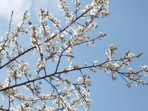 pavasario žiedai,perspektyva,dangus,žydėti,balta,žiedas,žydėti,medis