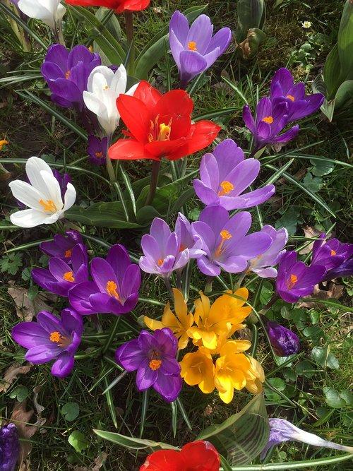 spyruokliniai žiedai, spalvinga, pobūdį, farbenpracht, Crocus, gėlės