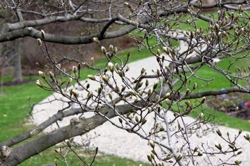 pavasaris, gėlės, gėlių & nbsp, pumpurai, pumpurai, medis, žiedas, kelias, švelniai & nbsp, kreivumą, pavasario pumpurai