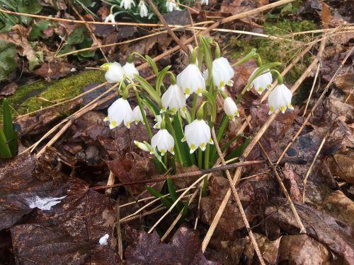 pavasario laikrodis,pavasaris,balta,gėlė,balta gėlė,pavasario ženklas,augalas,gamta,pavasario augalas,pavasario gėlė,suomių,retas,finland