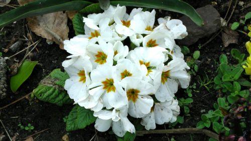 Gėlė,  Gėlės,  Flora,  Augti,  Auga,  Sodas,  Sodai,  Tvora,  Tvoros,  Tvoros,  Krūmas,  Krūmai,  Sodininkystė,  Sodininkystė,  Žalias,  Pavasario Flora