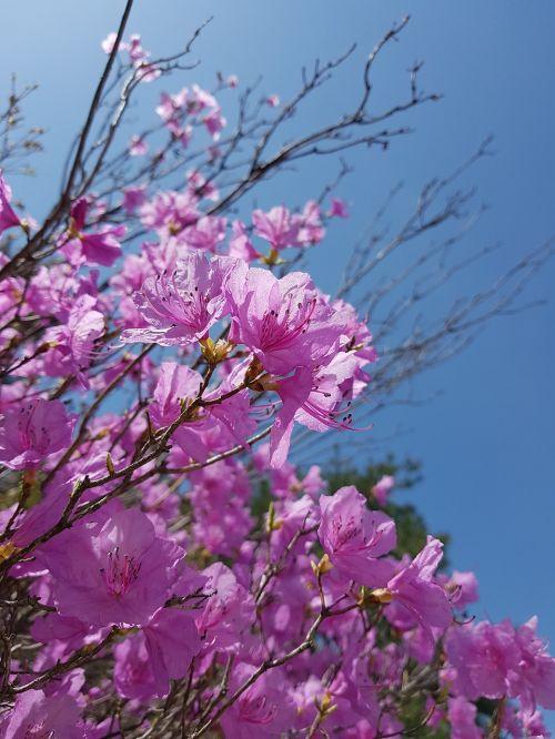 pavasario gėlės,azalija,azalijos gėlės,Korėjos Respublika,jeonju,pavasaris,gėlės,gamta,rožinis,rožinė gėlė,Korėja,kalnų gėlės
