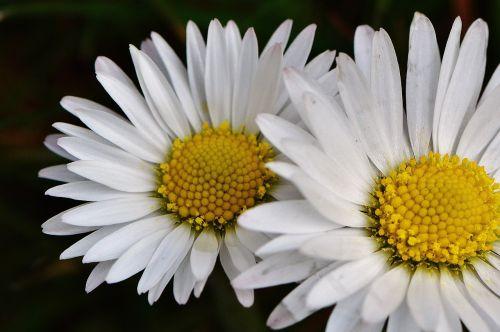 pavasario pieva,laukinės vasaros spalvos,Daisy,gėlės,pavasaris,gėlė,pieva,gėlių pieva,augalas,gamta,vasara,žolė,vasaros pieva