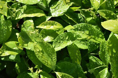 lapai, žalias, lietus, vanduo, šviesti, lašeliai, atspindys, pavasarį lietus