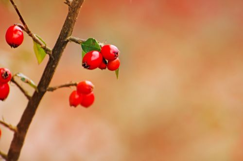 Filialas,  Sezonai,  Gamta,  Makro,  Uogos,  Raudona,  Vaisiai,  Uogos,  Fonas,  Tapetai,  Pavasaris,  Pavasario Raudonos Uogos