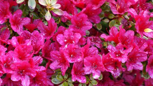 Gėlė,  Gėlės,  Flora,  Augti,  Auga,  Sodas,  Sodai,  Krūmas,  Krūmai,  Sodininkystė,  Sodininkystė,  Žalias,  Augalas,  Augalai,  Botanikos,  Botanikos,  Pavasario Raudona Flora