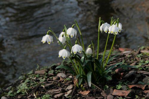 pavasario snaigė,pavasaris,pavasario gėlės,balta,gamta,žydėti,laukinė gėlė,pavasario požymiai,augalas