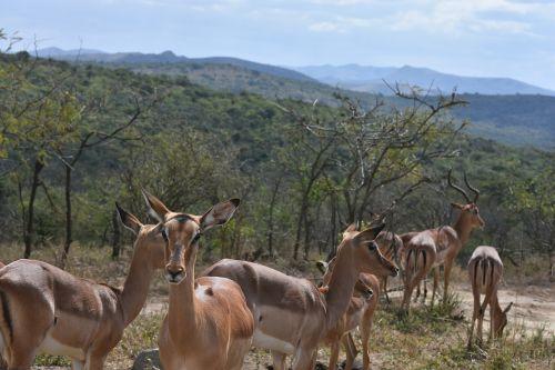 spyruoklė,pietų Afrika,Laukiniai gyvūnai,natūralus,gamta,į pietus,afrika,išsaugojimas,žolėdis,ragai,lauke,safari,dykuma,laukinė gamta,pietų Afrika,bushveld,Buck