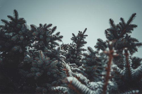 Eglė,sniegas,gamta,medžiai,cumulus,žiema,medis,filialas,šaltas,mėlynas dangus,adatos,po sniegu