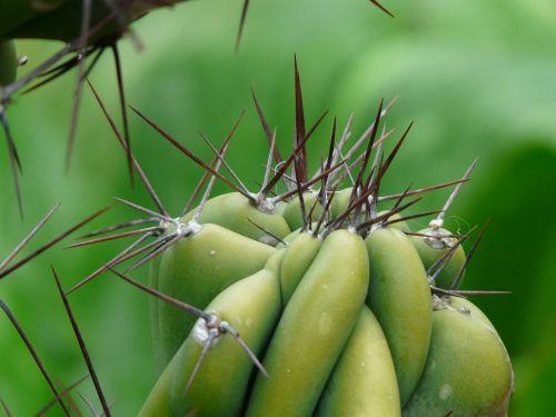 paskatinti,roko kaktusas,sereus peruvianus monstrosus,cereus,dykumos kaktusas,dygliuotas,žalias,pieksen
