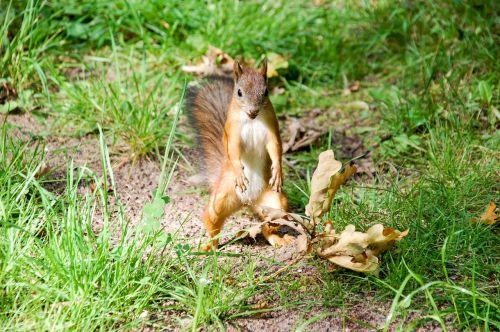 voverė,gyvūnas,gyvūnų planeta,gyvūnų temos,gyvūnai,atsargūs smulkūs žinduoliai,fauna,miškas,miško gyvenimas,miško gamta,miško voverė,buveinė,planetos žinduoliai,gamta,parkas,raudona voverė,graužikai,voverė ant kumpio,baltymų pavasaris,voverė su riešutais,voverės miške,miesto parkas,gyvūnų pasaulis,laukinė gamta,linksma,juokinga nuotrauka,žalias,raudona,mažai,vienas,Grožio salonas,lauke,ruduo,gražiai,natūralus,ruda,medis,europietis,juokinga,žinduolis,graži,žavinga,kailis,akis,žiūrėti,laukiniai,riešutas,filbertas,uodega,įdomu,esamas,graužikas,sciurus,eurasas