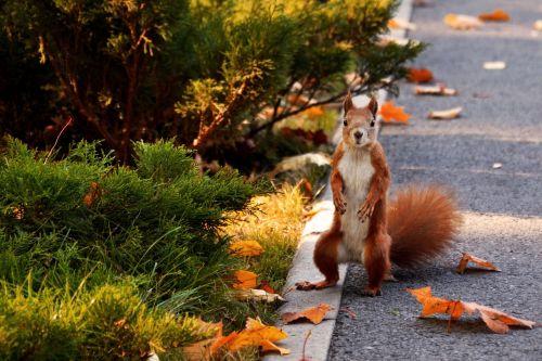 voverė,parkas,ruduo,gyvūnai,graužikas,parke,gyvoji gamta,gyvūnas,gamta,linksma,miškas,graikiniai riešutai,miško gamta,miško gyvenimas,gyvūnų temos,voverė ant kumpio,gyvūnų pasaulis,voverės miške,juokinga nuotrauka,uodega,miško voverė,gyvūnai gamtoje,miesto parkas,voverė su riešutais
