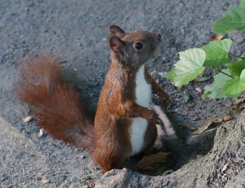voverė,gyvūnas,gamta,medis,miškas,mielas,žalias,gamtos fotografija,laukinės gamtos fotografija,parkas