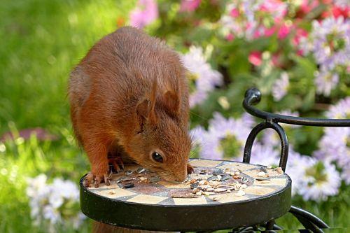 voverė,sciurus major,graužikas,maitinimas,sodas