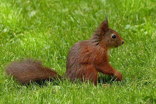 voverė,sciurus major,žinduolis,maitinimas,sodas