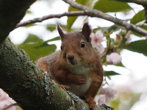 Voverė, Gamta, Medis, Gyvūnai, Graužikas, Fauna, Laukinė Fauna Ir Flora