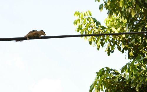 voverė,gyvūnas,elektros laidas,viela,burundukas,Šri Lanka,ceilonas,Mawanella