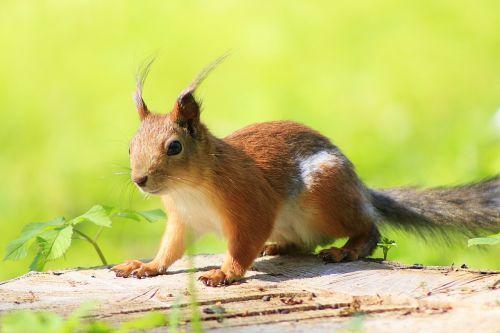 voverė,gyvūnas,parkas,gyvūnai,parke,graužikas,gyvoji gamta,medis,gamta,kailis,fauna,miesto parkas,linksma,miškas,vasara,mažas,įdomu,miško gamta,miško gyvenimas,gyvūnų temos,laukinė gamta,gyvūnų pasaulis,maistas,maitinimas,oranžinė,juokinga nuotrauka,uodega