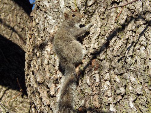 voverė,medis,lipti
