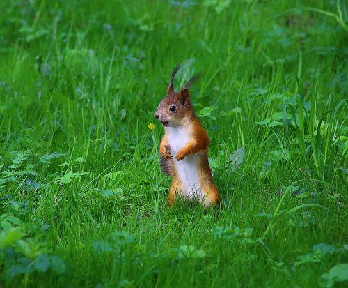 voverė,parkas,laukinė gamta,parke,gyvūnai,gyvoji gamta,gyvūnas,gamta,fauna,miesto parkas,linksma,miškas,miško gamta,miško gyvenimas,gyvūnų temos,graužikas,žolė,gyvūnų pasaulis,maitinimas,juokinga nuotrauka,uodega,vasara,graikiniai riešutai,įdomu,maistas,miško voverė,medis