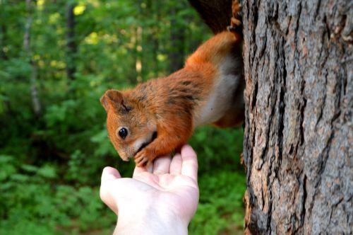 voverė,miškas,miško gyvūnai,gamta,gyvūnas,graužikas,gyvoji gamta,parkas,miško gamta,gyvūnų pasaulis,miesto parkas,įdomu,pūkuotas