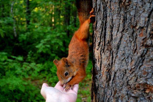 Voverė, Miškas, Valgymas, Riešutai, Gamta, Gyvūnas, Medis, Miško Gamta, Gyvoji Gamta, Miško Gyvenimas
