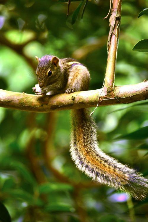 voverė,gyvūnas,laukinė gamta,gamta,Šri Lanka,Mawanella,ceilonas