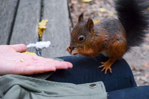 voverė,miškas,lapai,gamta,gyvūnas,mielas,parkas,graužikas,laukinės gamtos fotografija,nager,ruduo,rudens miškas,patikrinamas kačiukas,padaras,gyvūnų pasaulis,pūkuotas,raudona,uodega,kruopos,gudrus,ausys,gamtos fotografija,kailis,gyvūnai,possierlich