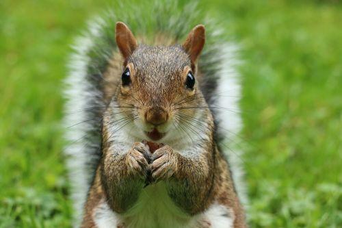 voverė,sciurus carolinensis,pilka voverė,graužikas,žinduolis,nager,gyvūnas,mielas,saldus,Britanijos voverė,riešutas,laukinės gamtos fotografija,pūkuotas,maitinimas,pašarų sodas