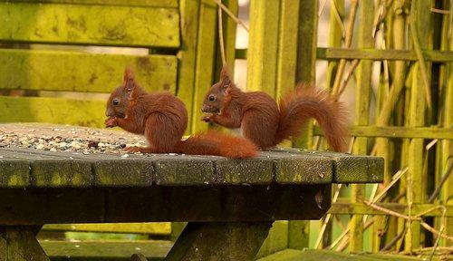 voverės, gyvūnas, jauna gyvūnų, jauna, pobūdį, riešutų, valgyti, maisto, mielas