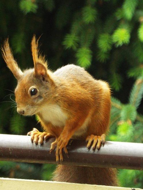 voverės, pobūdį, gyvūnas, miškas, possierlich, miško gyvūnai, miško gyvūnai gyvūnų fotografijos, graužikų, gyvūnai, rudi, žalias, Iš arti, Nager, mielas, Gyvūnijos pasaulyje, kailiai, Sodas, vasara, padaras, šelmiškas, galva