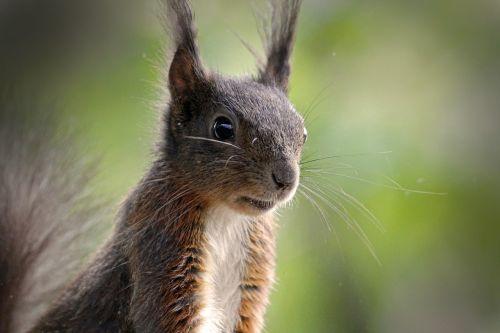 voverė, gyvūnas, kailis, gamta, mielas, nager, pūkuotas, padaras, ruda, possierlich, lipti, sodas, miškas, įžūlus, graužikai, vasara, akys, ausys, šviesiai ruda