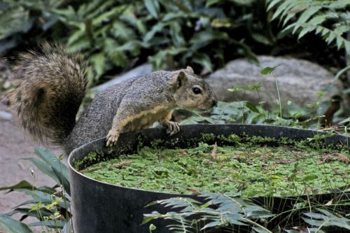 voverė, gerti, vanduo, cilindras, sustingęs, gyvūnas, animacinis, susijaudinęs, laukinė gamta, vienas voverė, vienas & nbsp, voverė, krutinė & nbsp, uodega, voverė ir vandens stulpas