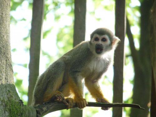 voverė & nbsp, beždžionė, ape, beždžionė, primatas, siurprizas, filialas, voverės beždžionė