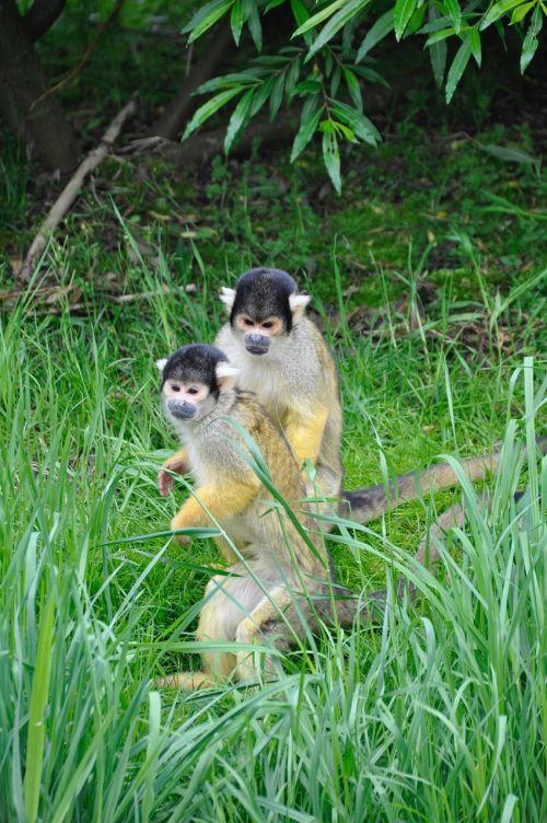 voverės beždžionė,kaukolė beždžionė,beždžionė,beždžionės,žinduolis,gyvūnai,gyvūnas