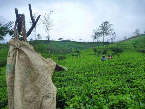 Šri Lanka,ceilonas,arbata,laukai,Tamilai