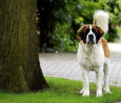 St Bernard,budrus,šuo,mielas,naminis gyvūnėlis,gyvūnas,budrus šuo,apsauga,kailis,Gerai,dėmesio,pasididžiavimas,žiūrėti,laukimas,hundeportrait,galvos piešinys,Patinas,pasitikėti,šuo išvaizdą,vidaus šuo