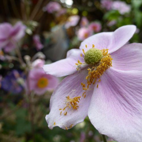 tuti,anemonis,rožinis,gėlė,žiedas,žydėti,flora,gėlių sodas,parko gamykla,žydėti,švelnus,Japonijos anemonis,violetinė