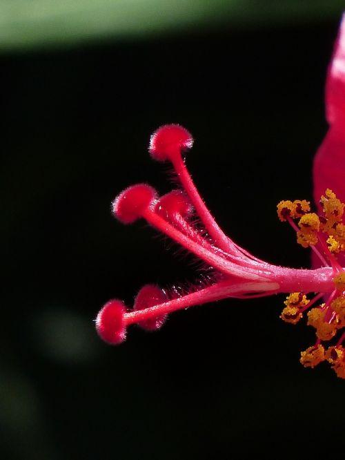 antspaudas,žiedadulkės,hibiscus gėlė,žiedas,žydėti,hibiscus,gėlė,žiedlapiai,Mallow,raudona,dekoratyvinis augalas,tuti,pistil,Kinijos rožė eibisch,hibiscus rosa sinensis,Kinijos rožė,kambario hibiscus,malvaceae,augalas,pusbokšlis