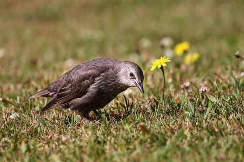 star, jauna, jauna paukštis, Sturnus vulgaris, jauna žvaigždė, paukštis, Songbird, stovėti, meadow, rudas
