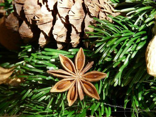 žvaigždė anīsas,vaisiai,prinokę,atvykimo vainikas,sternanis realus,illicium verum,žvaigždžių anīso augalas,schisandraceae,prinokę vaisiai,anisi stellati fructus,ornamentas