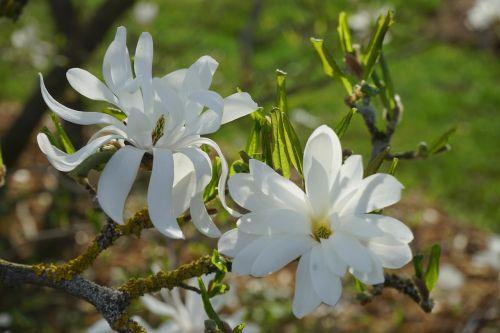 žvaigždė magnolija,magnolija,žiedas,žydėti,balta,dekoratyvinis krūmas,dekoratyvinis augalas,magnolija stellata,dekoratyvinis