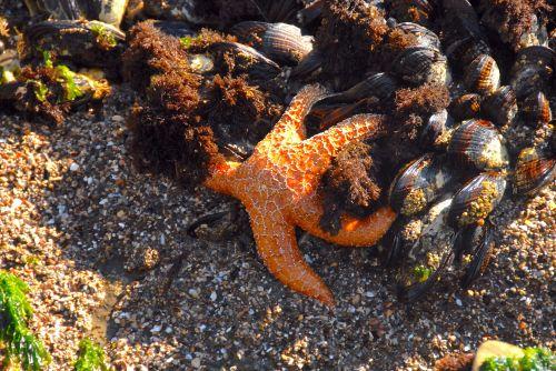 jūrų & nbsp, gyvenimas, žvaigždės, midijos, vandenynas & nbsp, gyvenimas, vandenynas, jūra & nbsp, gyvenimas, oranžinė & nbsp, spalva, kriauklės, papludimys, žvaigždynai ir midijos