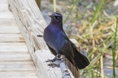 girlianda,florida,paukštis,juoda paukštis,prieplauka,paukštis ant doko,paukštis vandeniu,paukščio veido,varna,paukštis kelia,gamta,laukiniai,kaimiškas