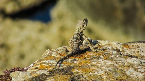 stellagama stellio cypriaca,driežas,endeminis,Kurkutas,laukinė gamta,gyvūnas,gamta,prisitaikymas,fauna,Kipras