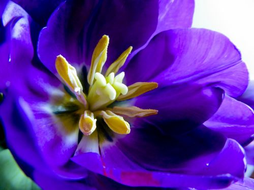 stigma, stilius, gėlių & nbsp, dalys, tulpių & nbsp, dalys, centras & nbsp, violetinė & tulip, sodininkystė, Iš arti, violetinė, & nbsp, tulpė, gėlė, tulpių stigma